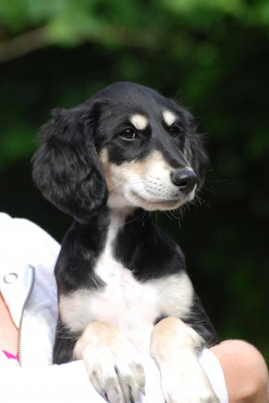 The Pip and Coco Saluki Page